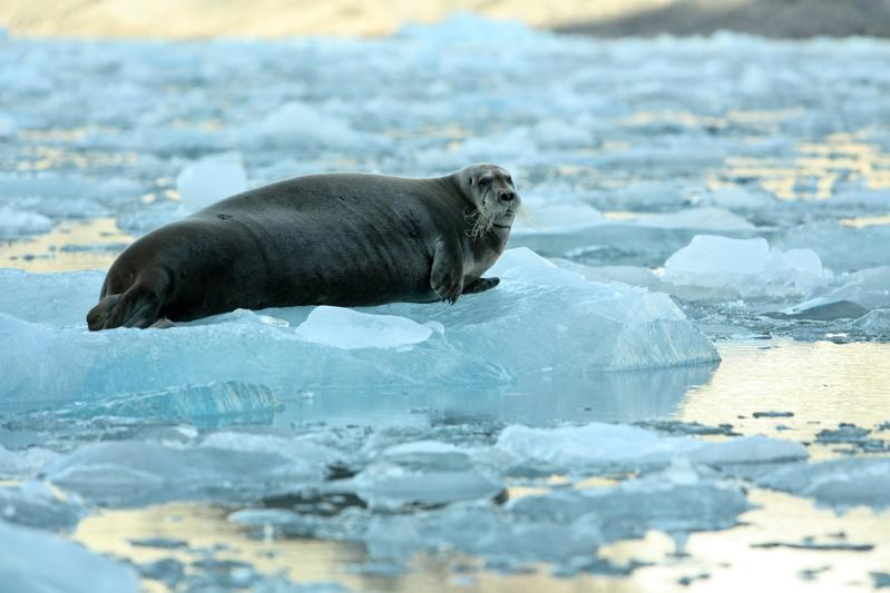 How could #Arctic ice melt impact polar bears, whales, seals, fish, walruses & human animals? http://t.co/lkZB3zXpgO http://t.co/H1BTc72zKV