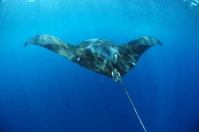 Skillfully applied thousand dollar satellite tag to manta ray. The same manta ray I tagged yesterday #fieldworkfail http://t.co/xHR1agskar