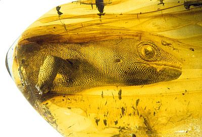 #FossilFriday Shared this weeks ago but too good not to share again. c 54 million yr old Yantarogekko in Baltic amber http://t.co/rqKzzn2Kst