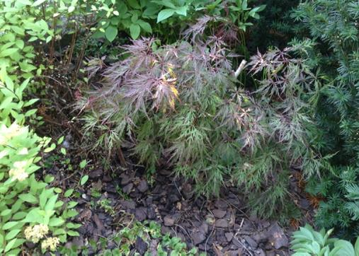 Japanese maple with both red and green leaves among several green bushes