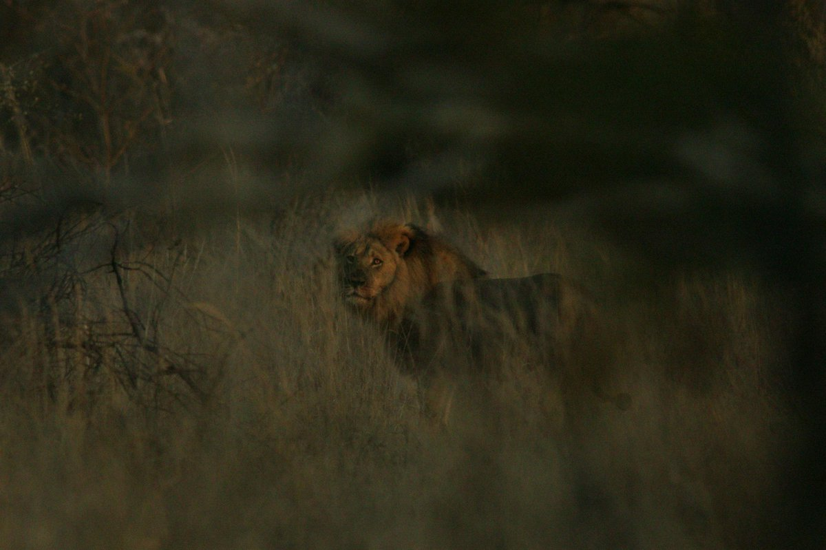 BREAKING #Jericho alive and well! Pic taken by @brentstapelkamp 06.15 this morning http://t.co/DgDO80m5uv #WildCRU http://t.co/ygXfZTKFEq