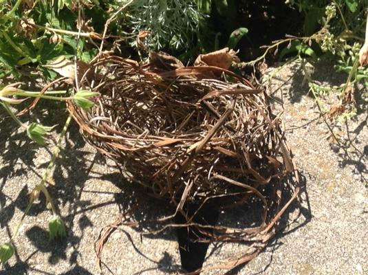 bird nest on ground