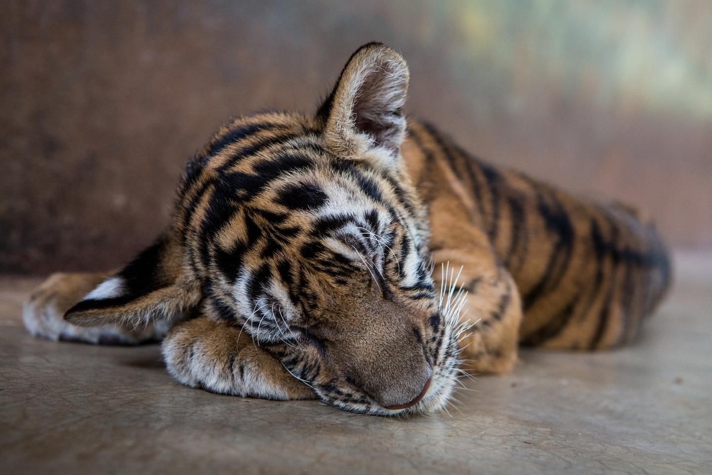 RT @mashable: Thailand's tiger cub tourism is both helping and hurting animal conservation http://t.co/3lSwzNCWwE http://t.co/qDEQvzcNGR