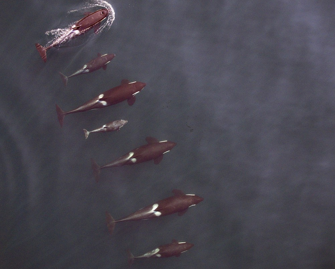 RT @WiredUK: Drone captures amazing image of killer whales at sea: http://t.co/4oIiYUHvJ0 http://t.co/h6StFZ7CaZ