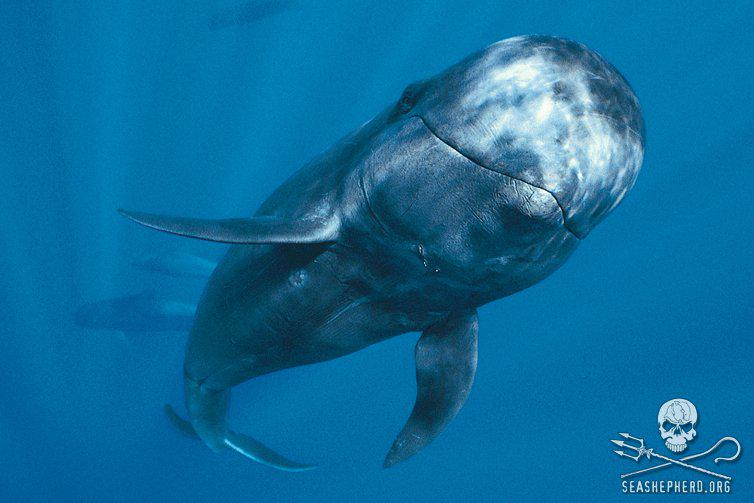 RT @SeaShepherd_USA: Stand Up for the pilot whales of the Faroe Islands! Learn how you can help: http://t.co/zdRiaZCdyE. #StandUp250 http:/…