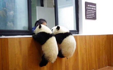 パンダ「今だ、脱出!」飼育員さん「ダメよ〜」 pic.twitter.com/QhnWpxFSls