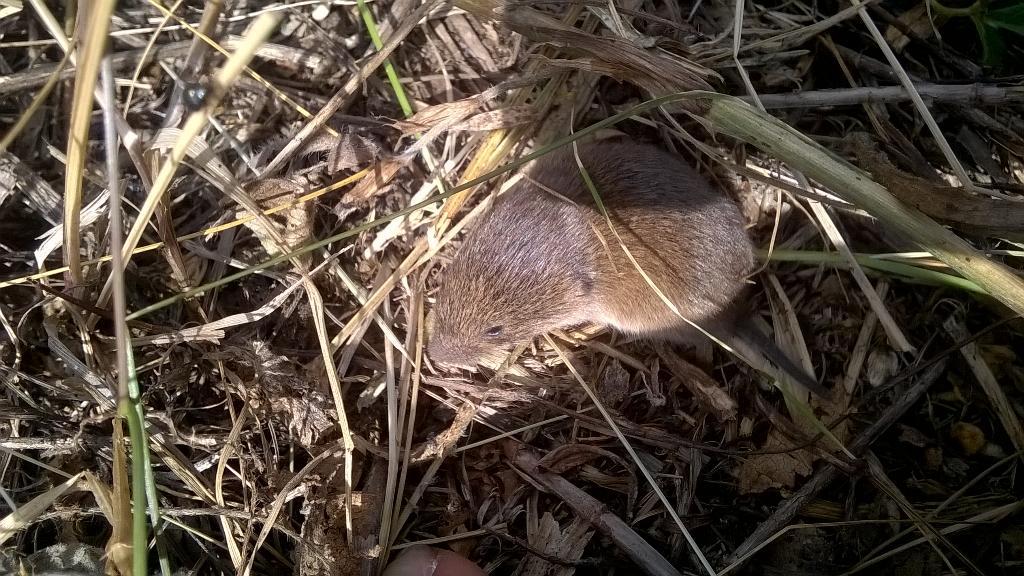 первые грызуны обитающие в нижегородской области фото переупорядочить