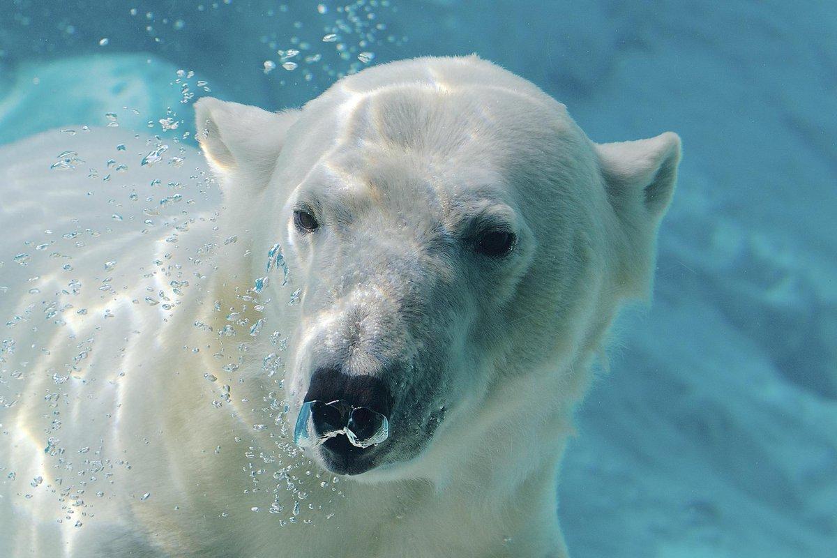 Белые медведи фото картинки
