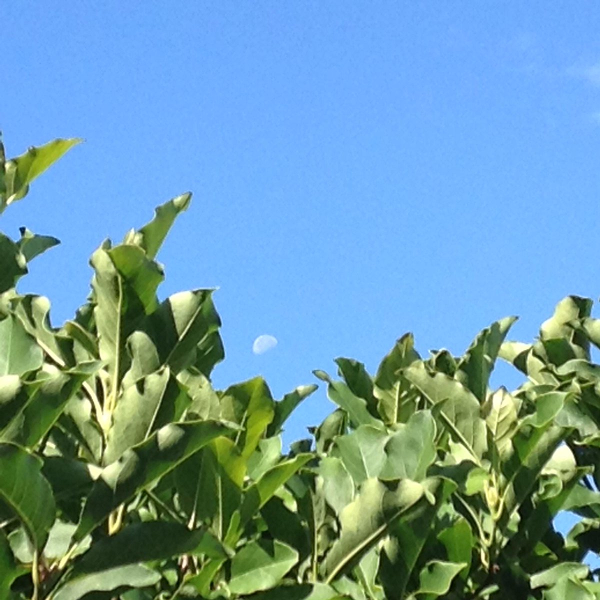 faint half moon in blue daytime sky above magnolia branches