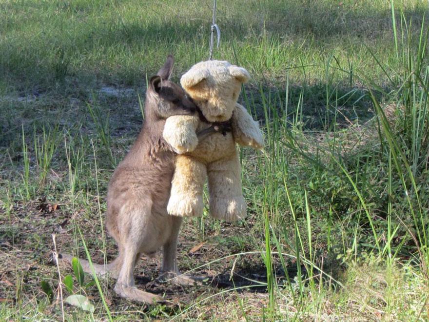 テディベアを抱きしめる、みなしごのカンガルーの赤ちゃん人間の幼児と一緒で、カンガルーもぬいぐるみで安心するみたい。生後数ヶ月でみなしごとなるが、人間のケアを受けて健康を取り戻す。boredpanda.com/orphaned-kanga… pic.twitter.com/1z1lw2IFt0