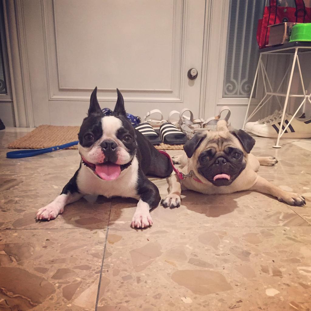 久々のファン太とこむぎ。鼻ぺちゃ犬は暑さに弱いから、この時期の散歩は夜だとしてもバテちゃいます。 pic.twitter.com/vmZnnGGJQJ