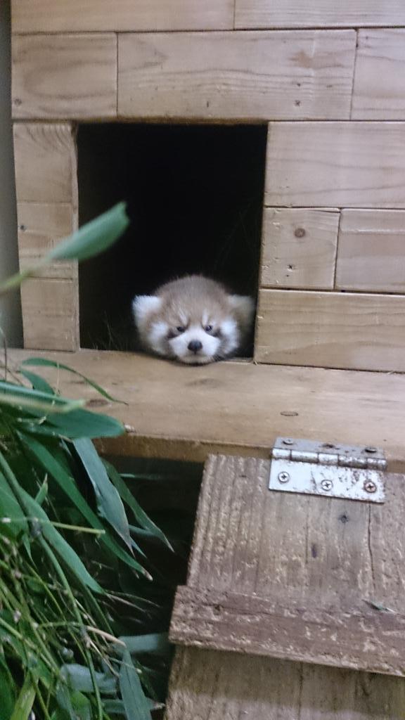 足腰がしっかりしてきたので、よく巣箱の入り口まで出てくるレッサーパンダの子ども。でも、一歩でも出ようとした途端、「まだ早い!」とばかりにお母さんのメイメイが巣箱の中へ引きずって行きます。 メイメイ、お疲れ様。(飼二)#chibazoo