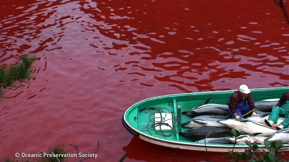Taiji dolphin slaughter set to turn cove into bloodbath: http://t.co/ohZ7SvPIVV #SaveJapanDolphins http://t.co/3ZIQ7bxWzb