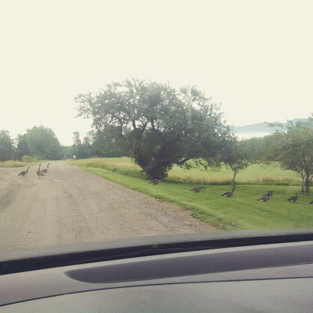 Vermont traffic jam #btv #vermont #morning #farm http://t.co/9w6EtkbxX2 http://t.co/FYSeaUaYVX