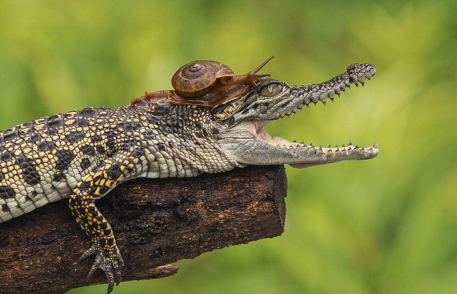 حلزون يزحف على ظهر تمساح - صور مذهلة