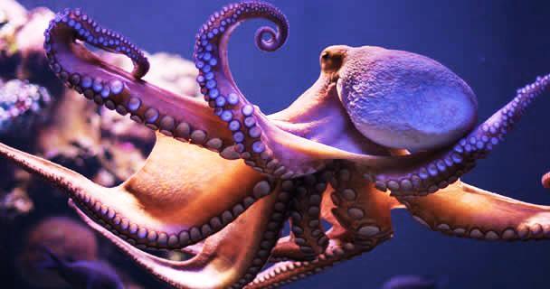 Polpo Octopus maya