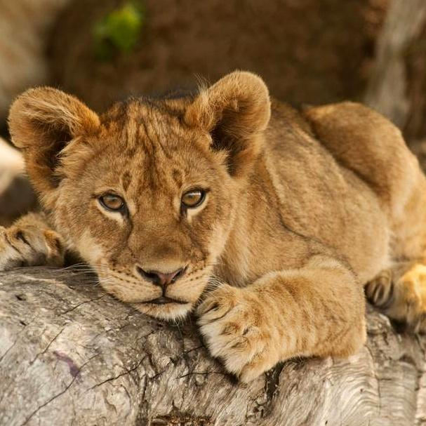#WorldLionDay ~ We stand up against #CannedLionHunting &the #IllegalWildlifeTrade of our iconic cats! Please RT http://t.co/IbkcSjWncM