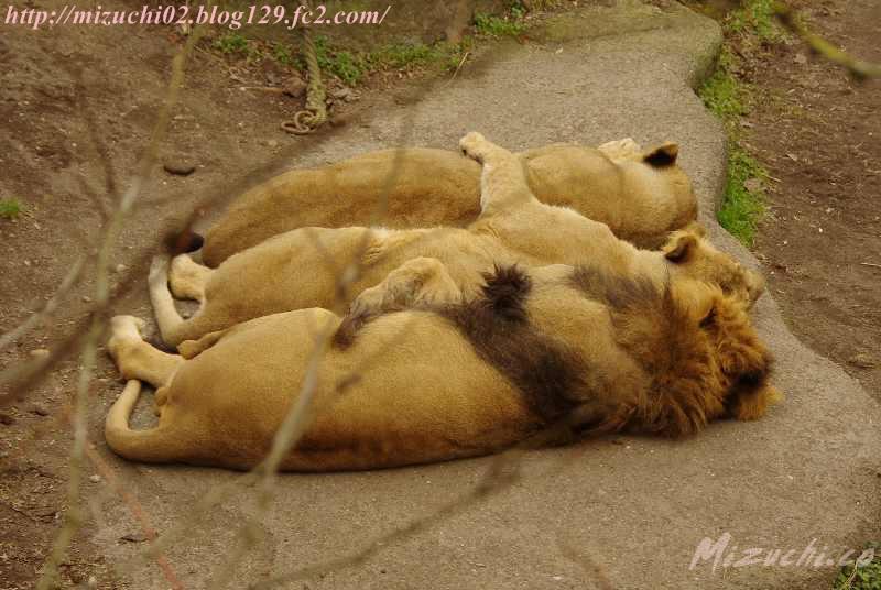 並んでお休み中のアジアライオン 多分両親と子 2010年以来子供は生まれていないの もうそろそろ次の子が来るといいんですけどねー チューリッヒ動物園 #WorldLionDay  #世界ライオンの日 pic.twitter.com/d8v0ljUXx7