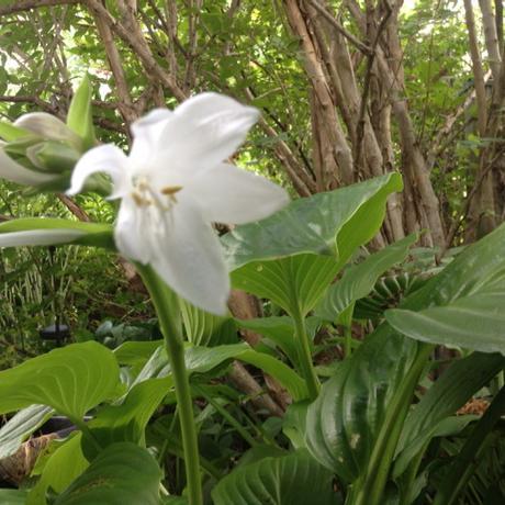 out of focus white hosta flower