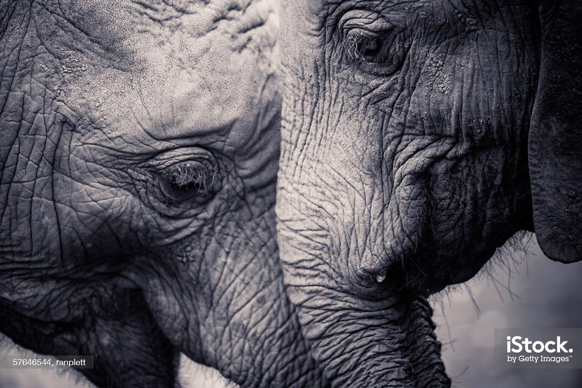 Capturing the magnificence of an extraordinary and endangered animal #WorldElephantDay http://t.co/OK9hQTfcBu http://t.co/BoEQXoZI8k