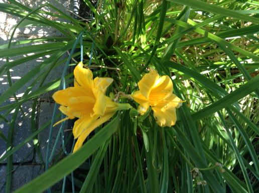 two yellow day lily flowers
