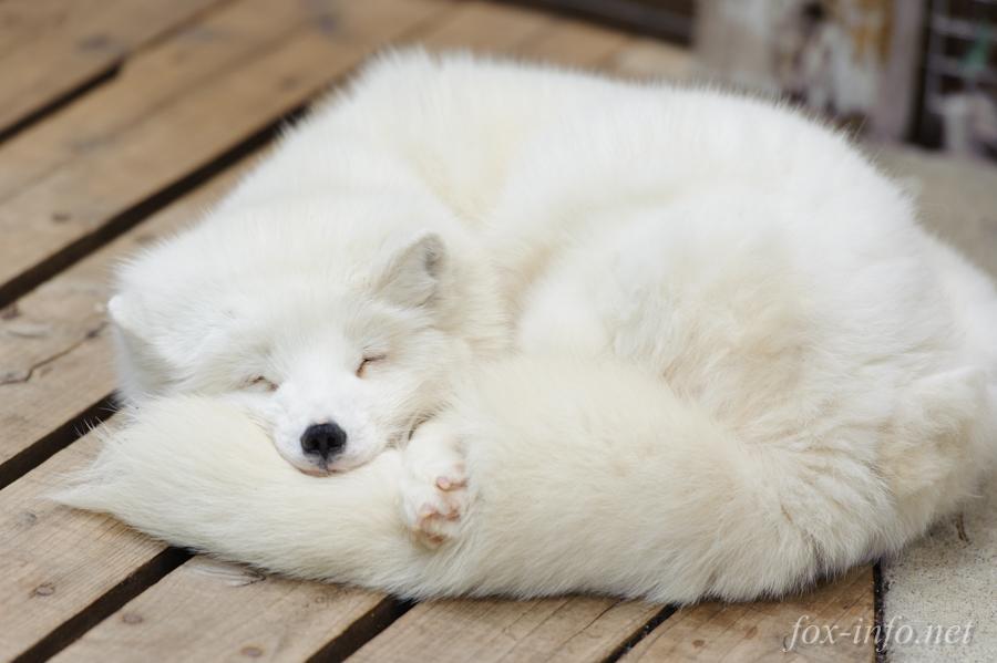 しっぽ枕ホッキョクギツネ fox-info.net/fox-photo/arch… セルフ抱き枕もふす pic.twitter.com/4tZjM2PIQh