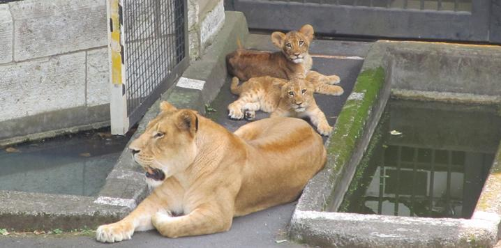 多摩動物公園で生まれたライオンの子「イチゴ」と「ニイナ」、群れとの同居の準備を進めて、本日2015年8月13日から展示デビュー! 時間帯などの制限もあります。詳しくは東京ズーネット最新記事☞tokyo-zoo.net/topic/topics_d… pic.twitter.com/YIzbSOAKhE