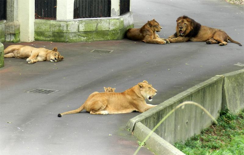 (デ、デビューしました…)#多摩動物公園 #ライオン誕生 pic.twitter.com/iHS9FHdvKv