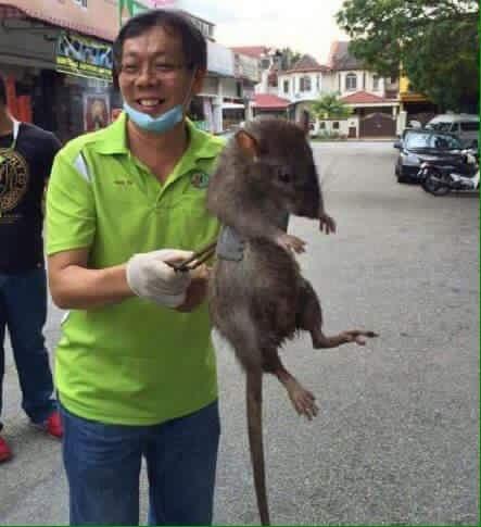 """Képtalálat a következőre: """"rata mas grande del mundo"""""""