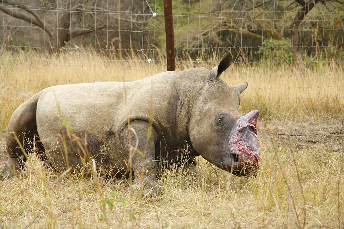Rhino mutilated by poachers treated with elephant skin in South Africa http://t.co/1Mg4NRuFcR http://t.co/FMyYR7HQWz