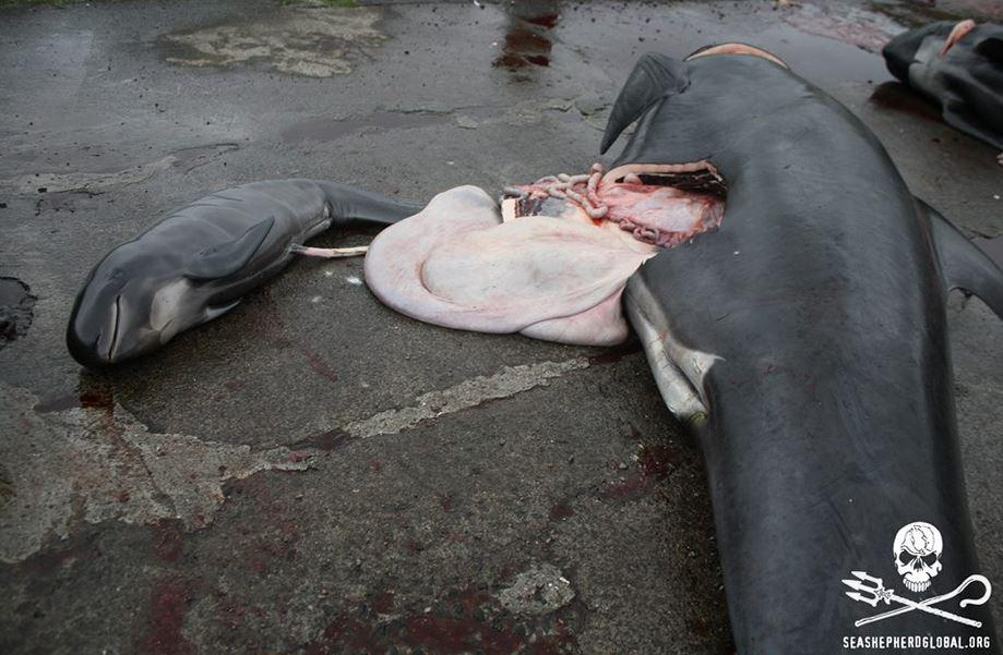 The grind takes place when the whales are pregnant or nursing - none survive  at #FaroeIslands. #BoycottFaroeIslands #DontVisitFaroeIslands #ShameOnDenmark #StopKillingWhales #OpKillingBay #SaveOurOceans #EU  https://twitter.com/Anon4dolphin/status/1119318571849412608…