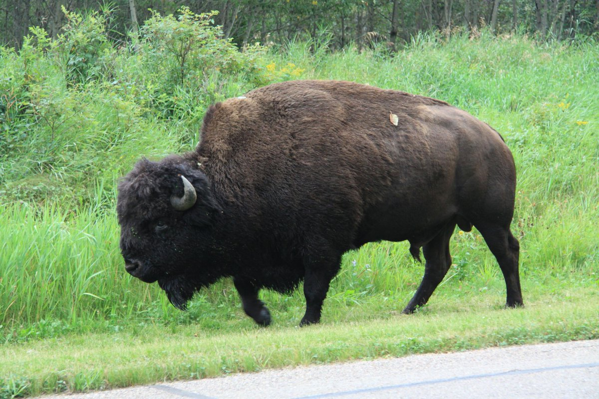 I really enjoyed #BisonFestival @ElkIslandNP today. Time for an illustrated Twitter essay on bison management there! http://t.co/XfojzoMxyR