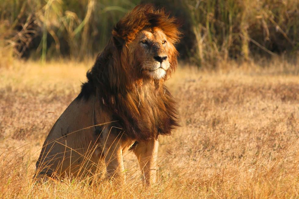 Лев в африке картинки для детей