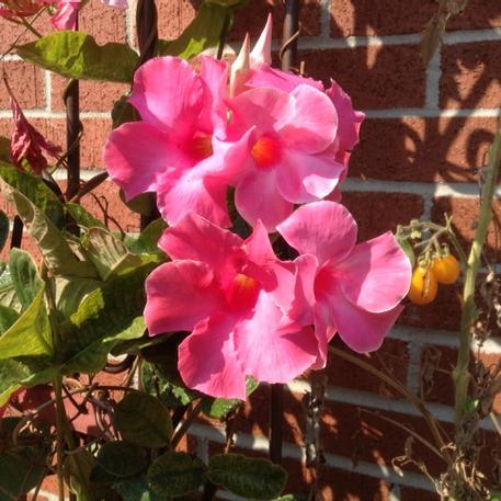 cluster of pink mandevilla blossoms