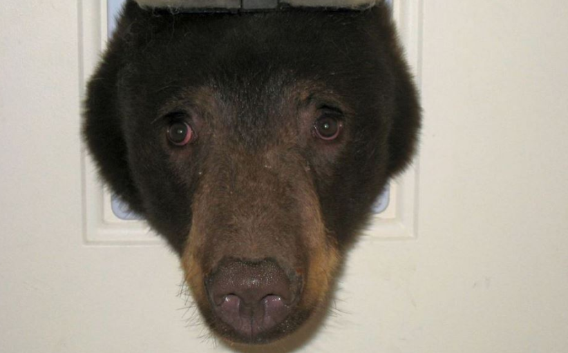 Barstool Sports On Twitter This Poor Bear Stuck In A Dog Door Is