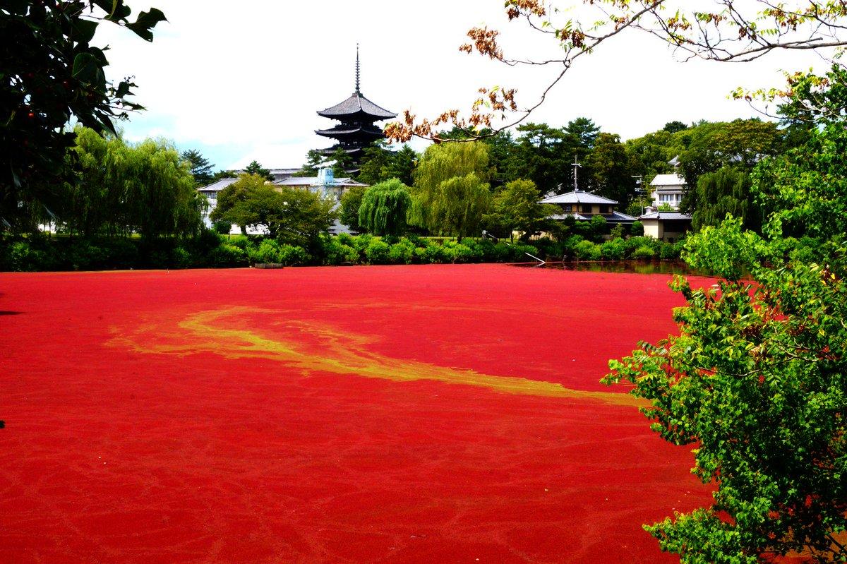 奈良市の奈良公園の荒池にアイオオアカウキクサ Azolla cristata × Azolla filiculoides が池の表面全体に繁茂していて血の池になっています。サンショウモ科のアカウキクサ科。バックは五重の塔。 pic.twitter.com/q49tl74pdj