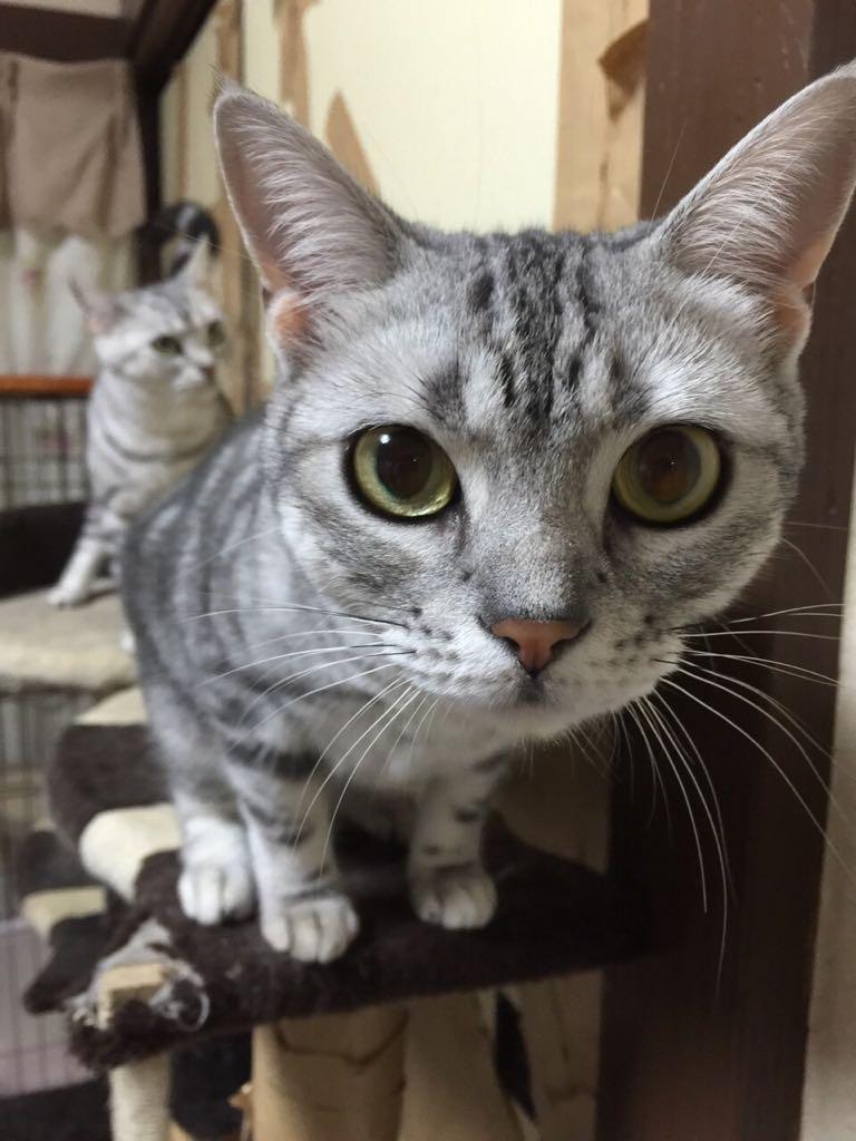 [拡散希望]どうしても引っ越ししなくてはならず、4匹いる猫ちゃんたちを飼ってくれる方をさがしてるそうです。その2 アメショの姉妹です。血統書つき。1歳8カ月です、気になる方はリプ下さい。 http://t.co/kmZBLOhjC1