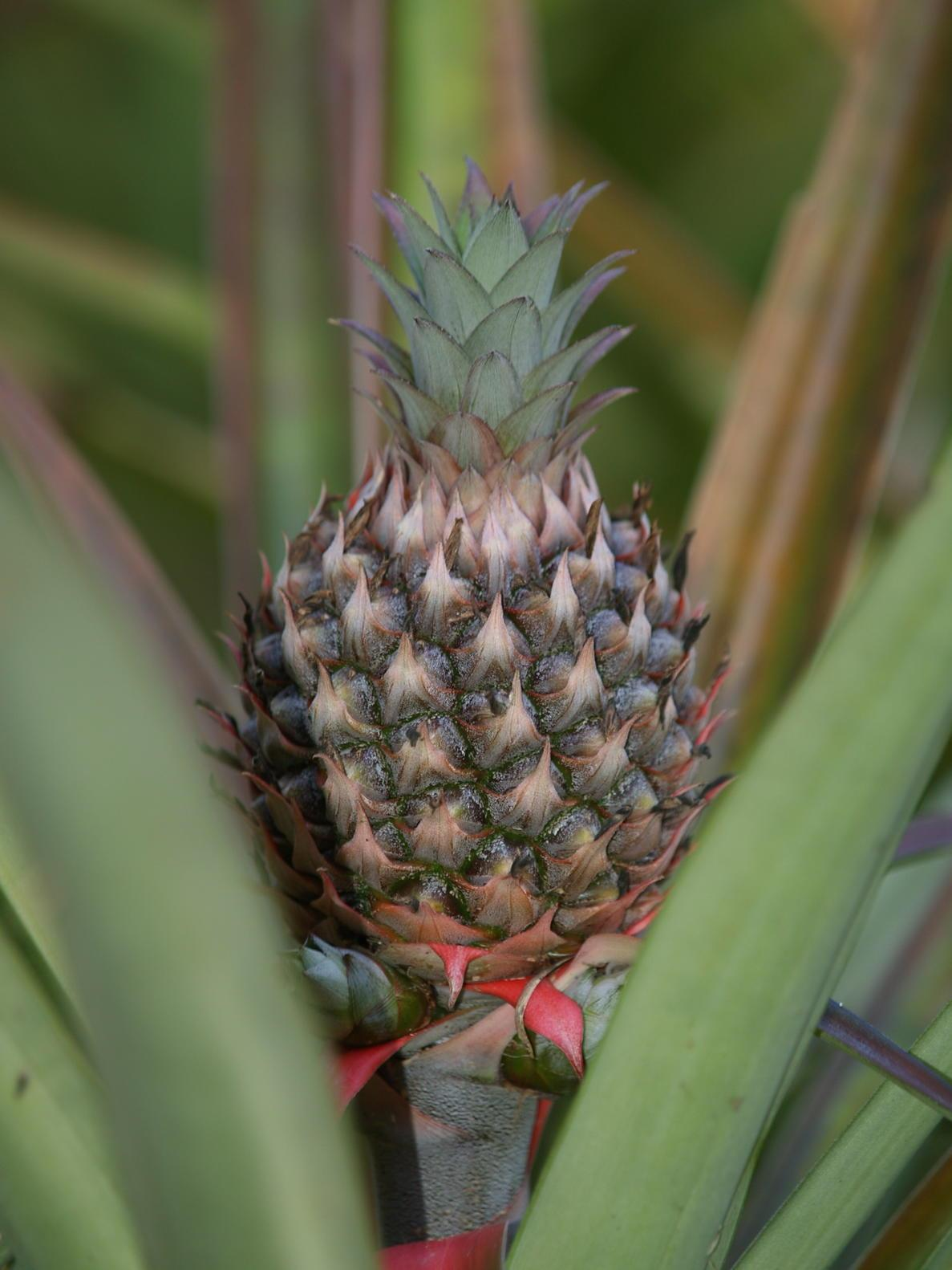 the pineapple which is not related to pines nor apples