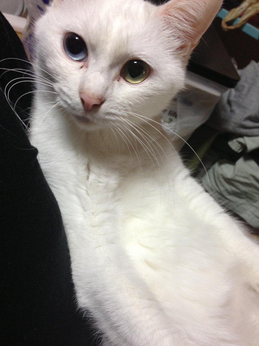 えーっと…何歳だっけ4・5歳? ハク様♀ 正式名称:ミギハヤミコハクヌシ  #繋がらなくていいから俺の猫を見てくれ http://t.co/aljkoHsrtS