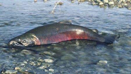 Idaho Steelhead, Fall Chinook And Coho Fishing Seasons Open Today! http://t.co/bxsBKGxpft http://t.co/2kQyXAJZFO