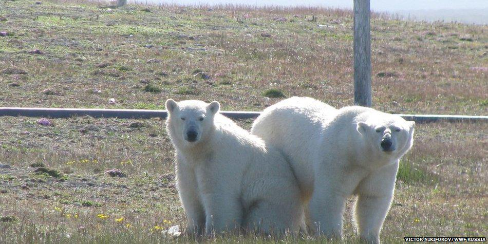 Hungry Polar Bears Surround Arctic Researchers