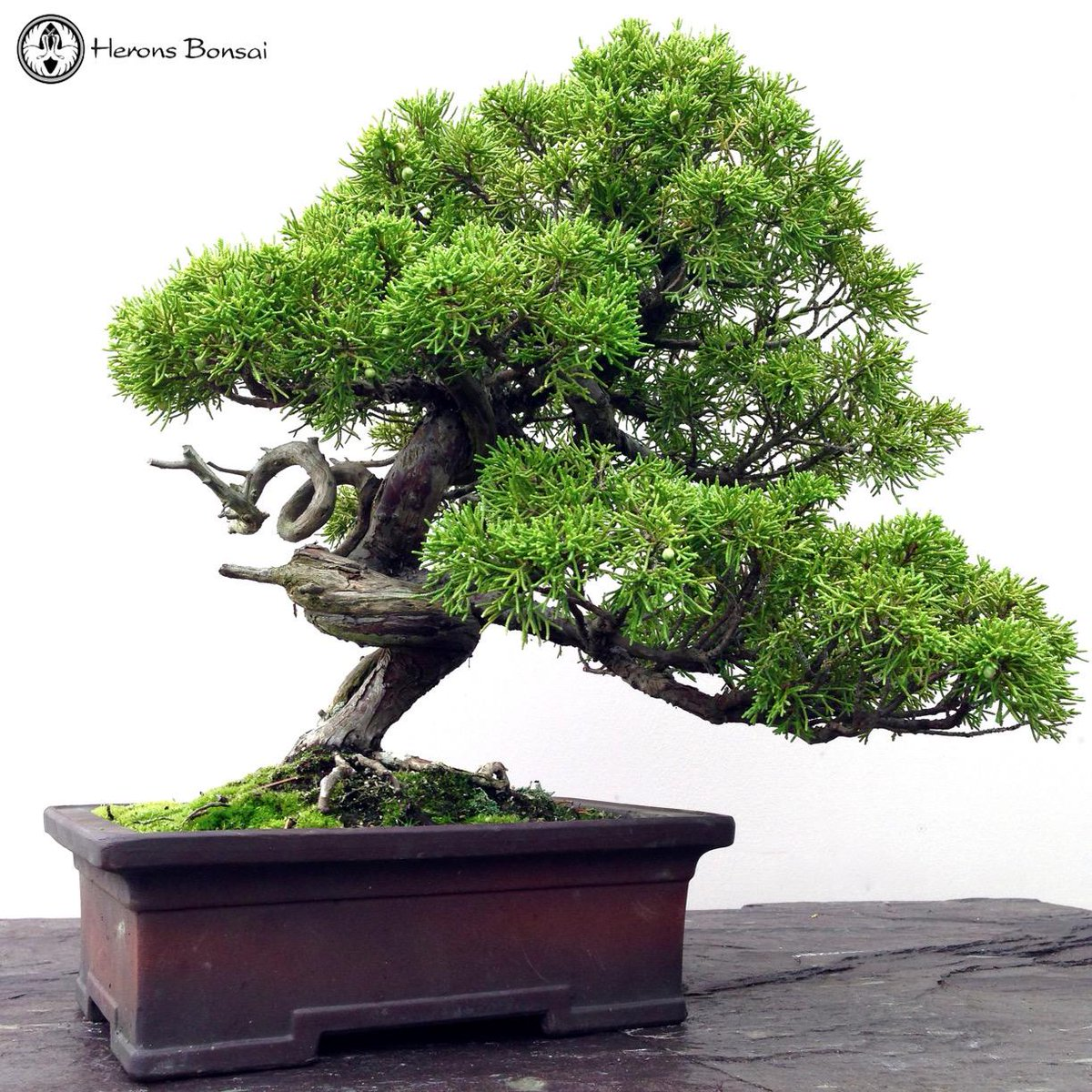 Herons Bonsai On Twitter Chinese Juniper Bonsai Tree Herons Bonsai Approx 40cm Tall 50 Years Old Http T Co 7pytvecq5u Http T Co 7bvmujtomr