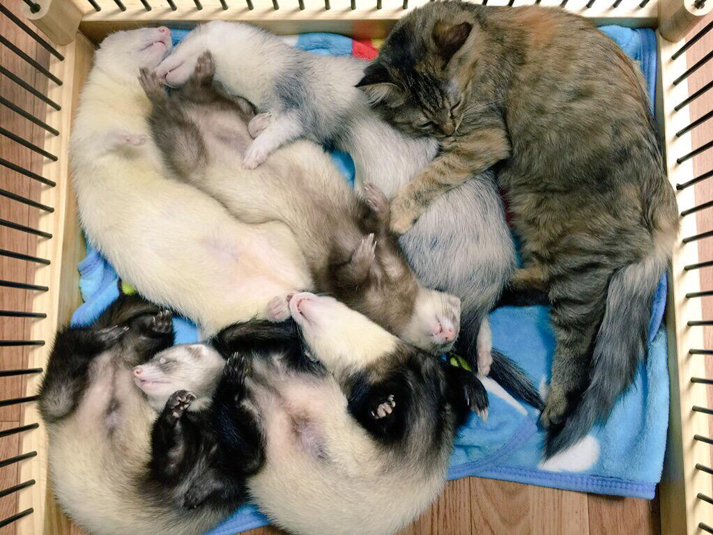 ブランケットの上で必ず寝るみたいなので、試しに折って置いてたらびっしり詰まって寝てて腹もげそうwww pic.twitter.com/lIjeb3k2Fg