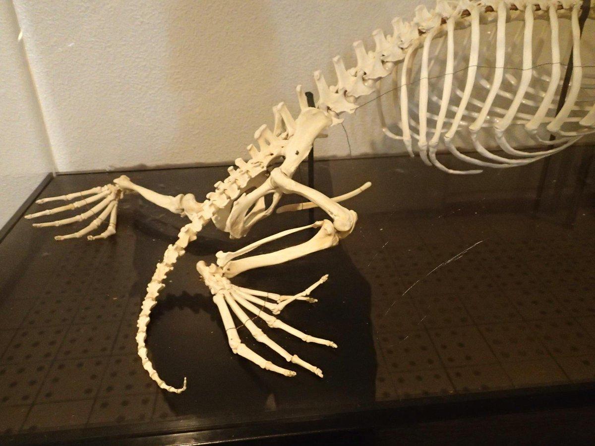 見たかった骨その3 ラッコ!!!! 臼歯丸っこい