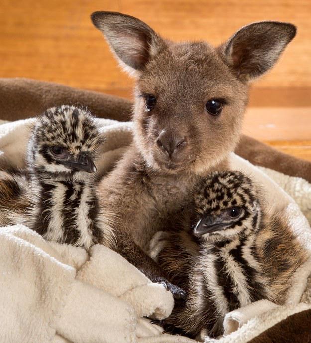 #Emu and #kangaroo #CuteOff http://t.co/k1r9V1H7NI  http://t.co/hyTbEwLFo4 @mymodernmet http://t.co/Jy9Fq9KU4N