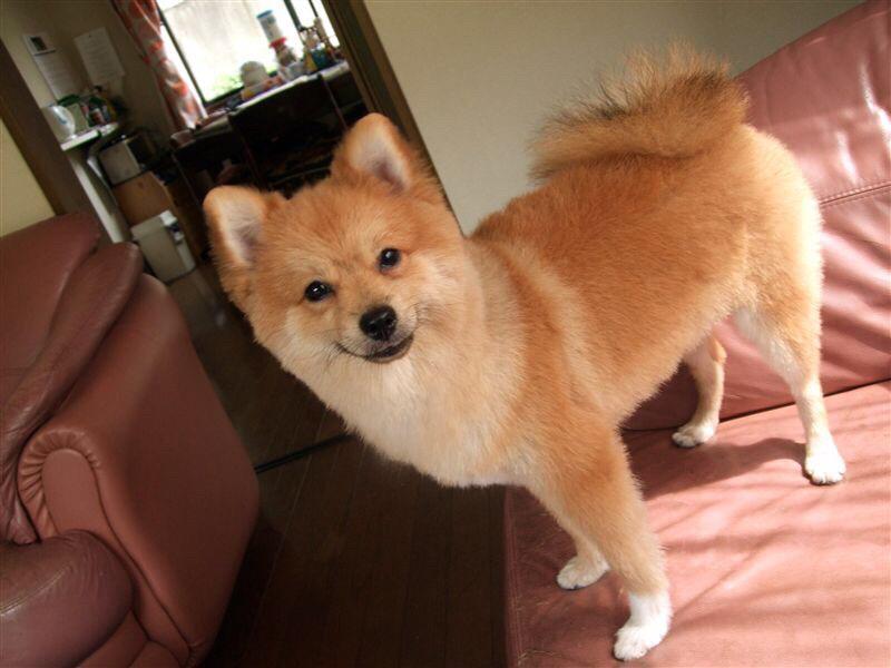 リコ氏に度々笑い草にされるわたしの愛犬がこちら。柴犬じゃねーーーーーよ!!ポメラニアンだよ!!!!!!!!! #繋がらなくていいからうちの犬を見てくれ pic.twitter.com/wln8sORIfU