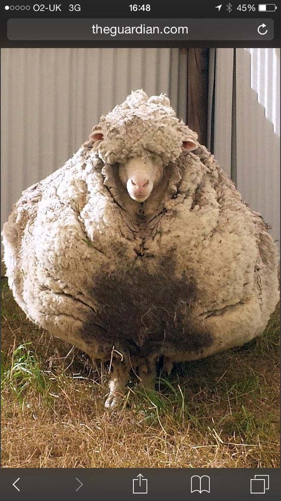 If humans hadn't been invented and sheep didn't learn how to use shears, is this how they would look?