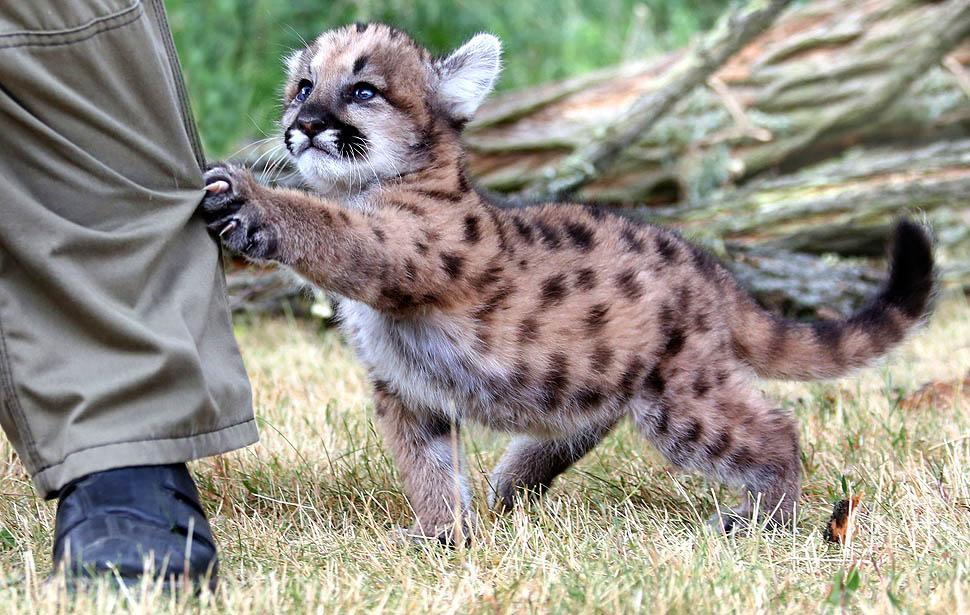 ...but mountain lion kittens are the cutest! #TeamMammal #CuteOff http://t.co/m6VJ6pS0nP