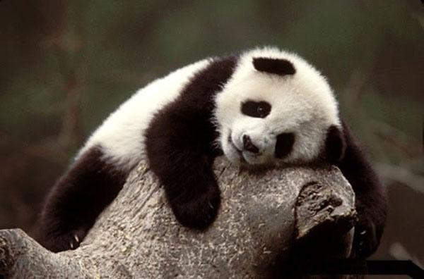 Panda #CuteOff http://t.co/NFBHscLxC0