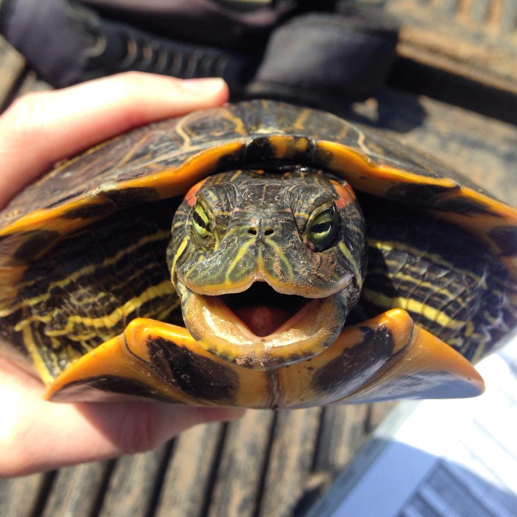 Smiley turtle for the biologist #cuteoff http://t.co/FE5fy6psUk